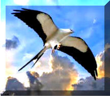 Swallow Tail Kite 1