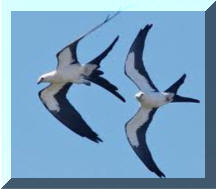Swallow Tail Kite 2
